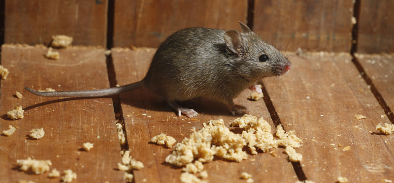 mice-main