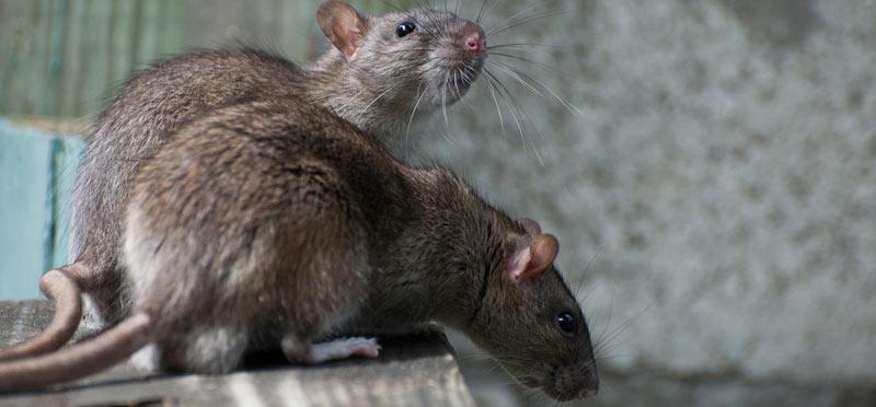 rats-main